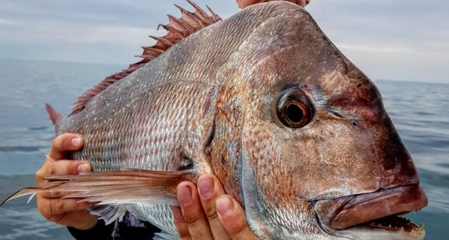 A big port phillip snapper