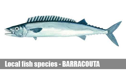 BARRACOUTA
