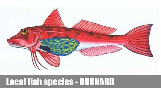 GURNARD
