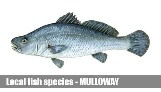 Mulloway