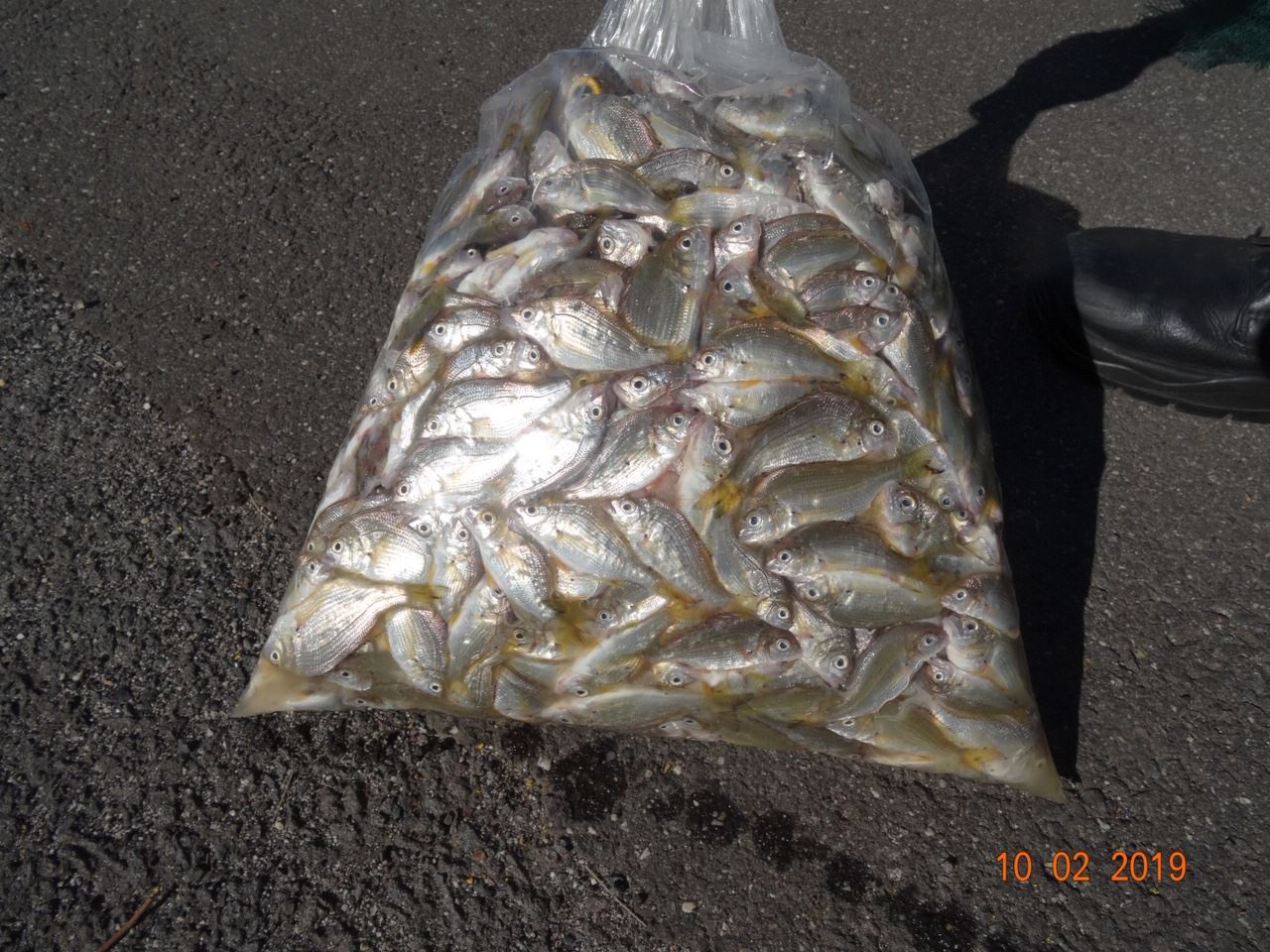 Bags of dead bream and mullet