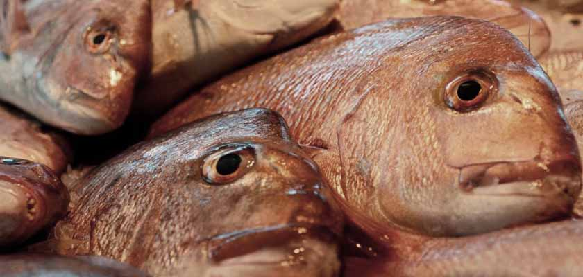 Snapper Ban in SA 3 years